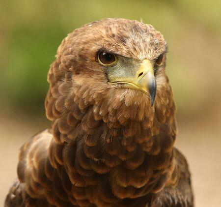 Portrait of a Bateleur Eagle Stock Photo - 4656582