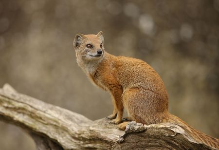 Portrait of a Yellow Mongoose Stock Photo - 4656606
