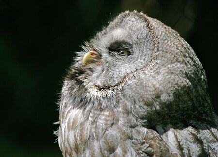 Portrait of a Great Grey Owl Stock Photo - 4685322