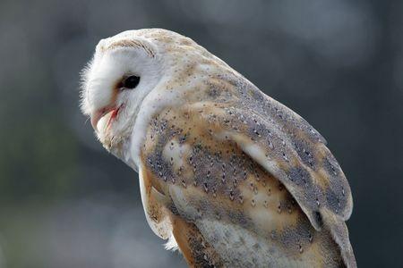 Portrait of a Barn Owl
