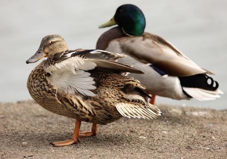 preening: Female Mallard Duck preening her feathers Stock Photo