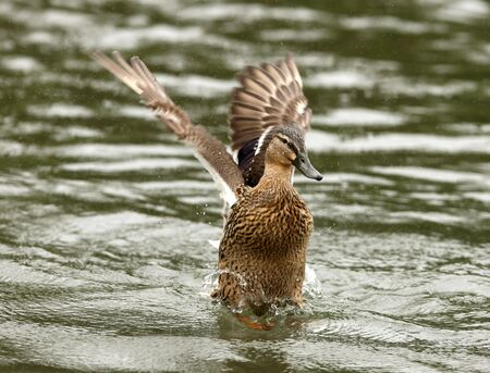 Female Mallard Duck cleaning her feathers