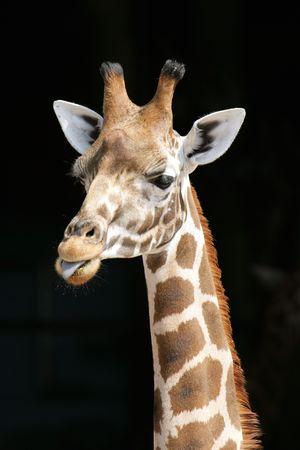 Portrait of a Giraffe Stock Photo