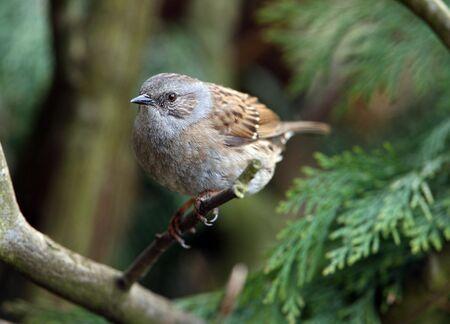Portrait of a Hedge Sparrow