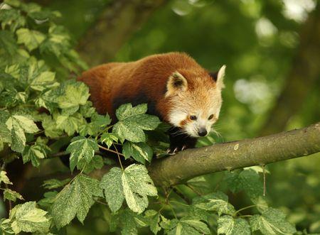 Red Panda in tree photo