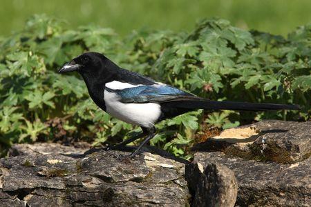 Portrait of a Magpie Stock Photo - 4700259