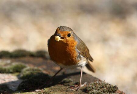 Portrait of a Robin Stock Photo