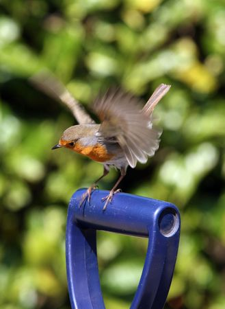 Robin landing on a garden fork Stock Photo - 4700252