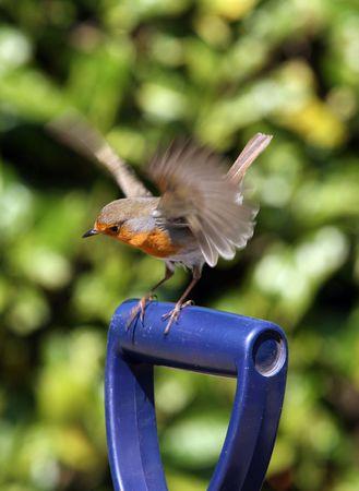 Robin landing on a garden fork Stock Photo - 4700252