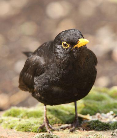 Portrait of a male Blackbird