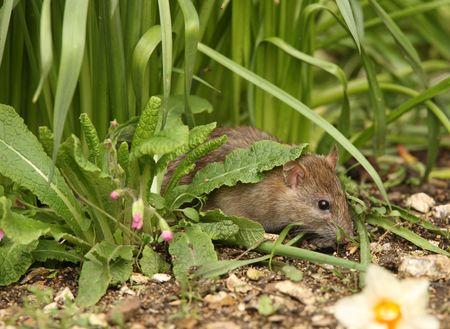 Close up of a Brown Rat