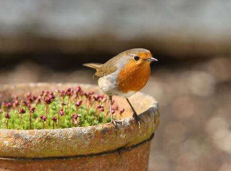 Robin perched on an old flower pot