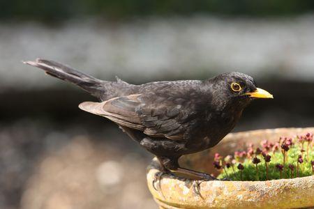 Blackbird perched on an old flower pot Stock Photo