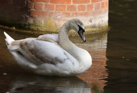 Portrait of a juvenile Mute Swan Stock Photo - 4751661