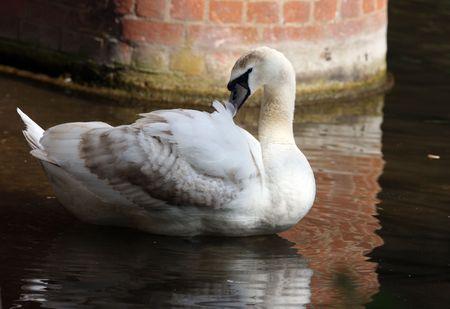 Portrait of a juvenile Mute Swan
