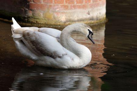 Portrait of a juvenile Mute Swan Stock Photo - 4751663