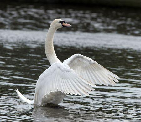 Male Mute Swan streching his feathers