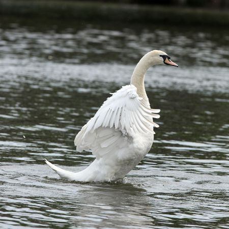 Male Mute Swan streching his feathers Stock Photo - 4751662