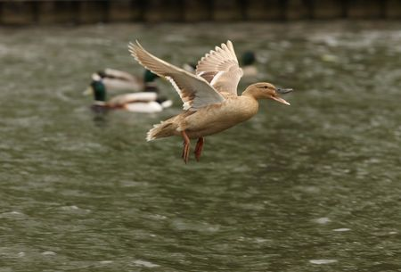 Female Mallard duck in flight Stock Photo - 4751659