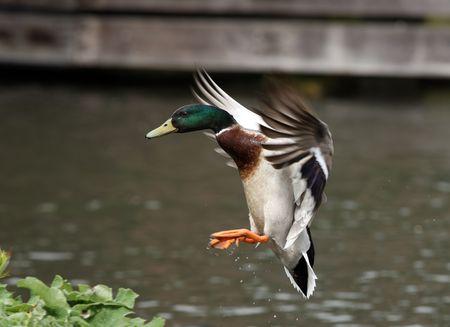 mallard duck: Male Mallard Duck coming into land Stock Photo