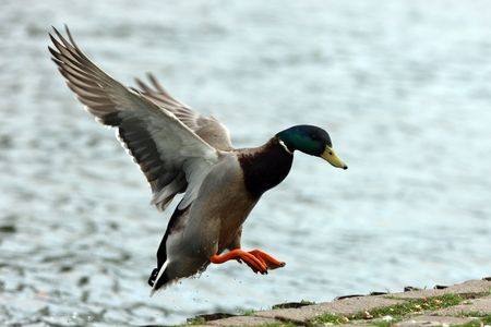 Male Mallard Duck coming into land 스톡 콘텐츠