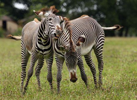 Two male Zebra fighting