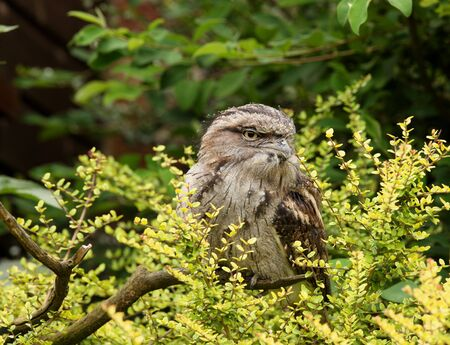 tawny: Portrait of a Tawny Frogmouth
