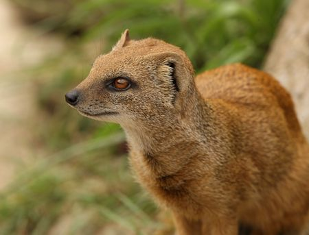 Portrait of a Yellow Mongoose Stock Photo - 5259966