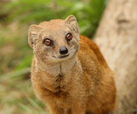 mangosta: Retrato de una mangosta amarilla
