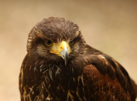 Portrait of a Harris Hawk Stock Photo - 5259971