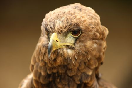 Portrait of a Bateleur Eagle Stock Photo - 5260050