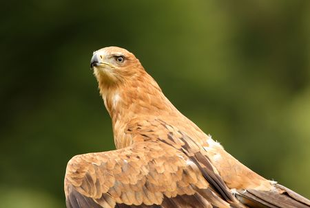 Portrait of a Tawny Eagle Stock Photo
