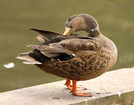 preening: Male Mallard Duck preening