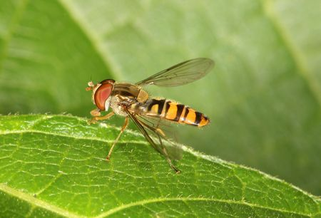 hover: Close up of a Hover Fly Stock Photo