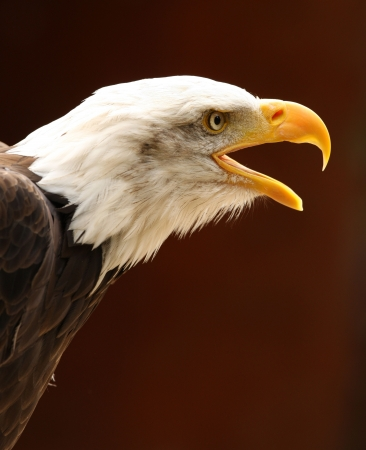 Bald Eagle bellen  Stockfoto