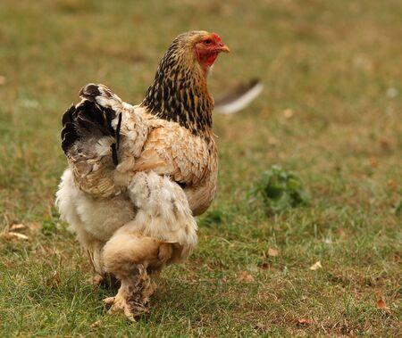 sussex: Sussex Bantam Chicken