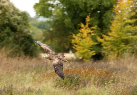 black kite: A Black Kite in flight Stock Photo