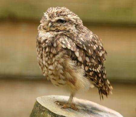 Portrait of a Little Owl