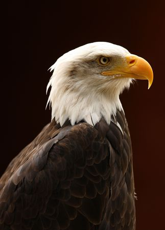 Portrait of a Bald Eagle Stock Photo - 5691991
