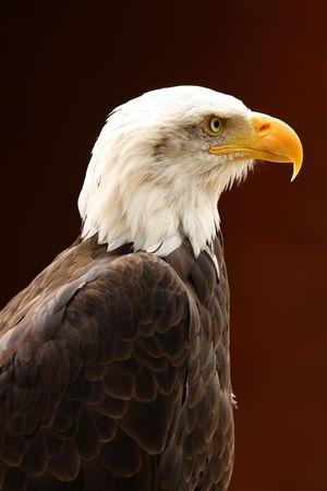 Portrait of a Bald Eagle Stock Photo