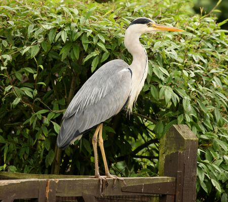 Portrait of a Blue Heron photo