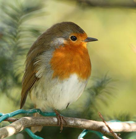 nido de pajaros: Retrato de una Robin masculina