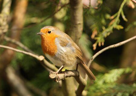 Portrait of a male Robin Stock Photo - 5909791