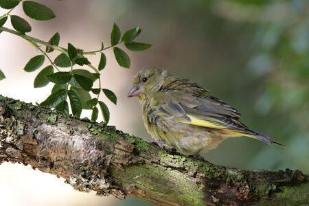 greenfinch: Portrait of a baby Greenfinch Stock Photo