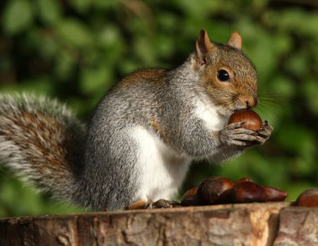 A young Grey Squirrel eating Chestnuts Stock Photo