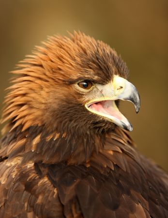 Portrait of a Golden Eagle Фото со стока - 6117648