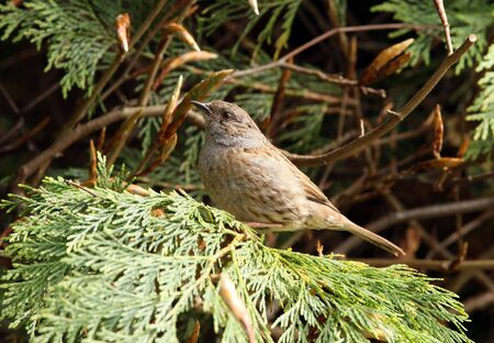 Portrait of a male Dunnock Stock Photo