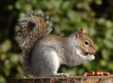 Grey Squirrel eating hazelnuts