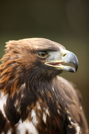 Portrait of a young Golden Eagle