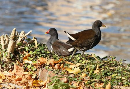 moorhen: A male and female Moorhen on a river bank